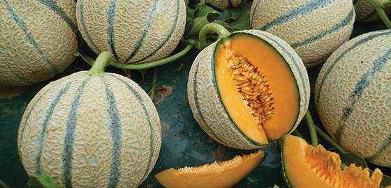 meloni-retati