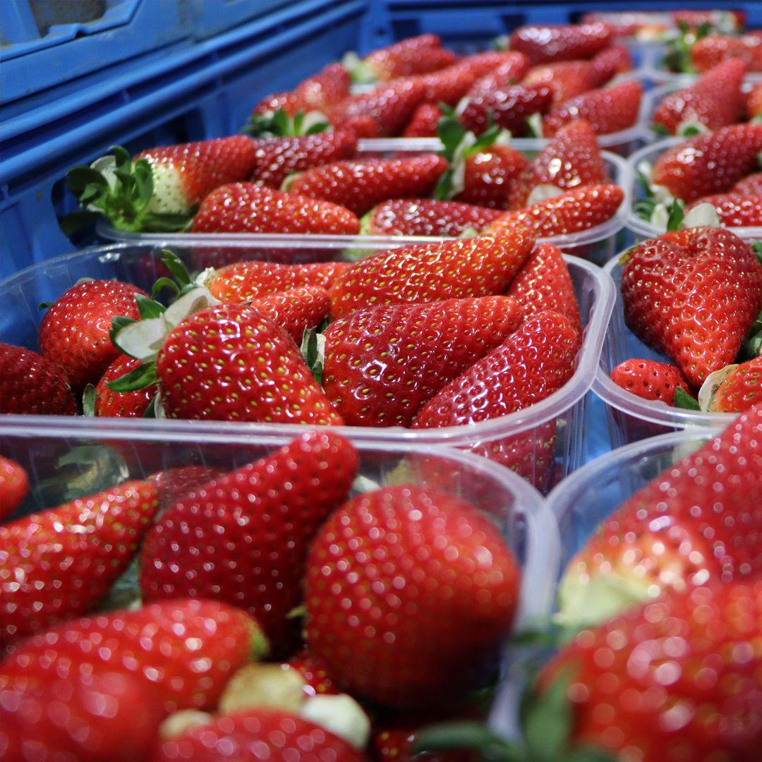 fragole-di-rosa-ingrosso-frutta