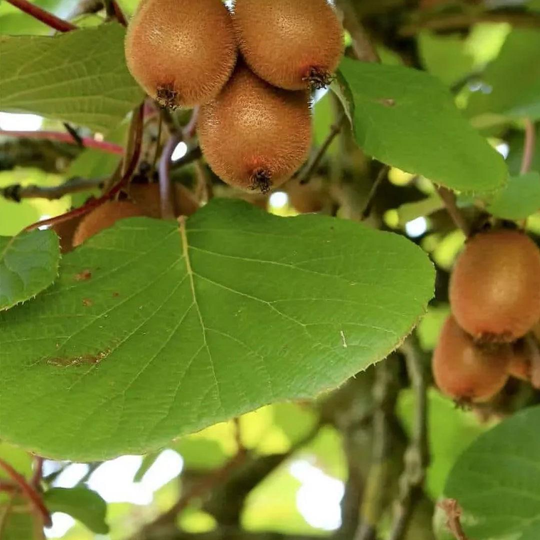 pianta-kiwi-di-rosa